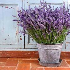 "50+ HEIRLOOM PERENNIAL HERB  SEEDS - LAVENDER - ""VERA"" VERY RICH ESSENTIAL OILS!"