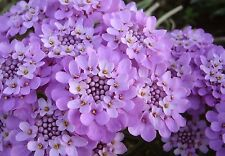 CANDYTUFT * Iberis gibraltarica *  LILAC-PINK BLOOMS * GROUNDCOVER * SEEDS
