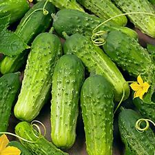 """ BOSTON PICKLING "" CUCUMBER SEEDS * CONTINUOUS PRODUCING * HIGH YIELDS *"