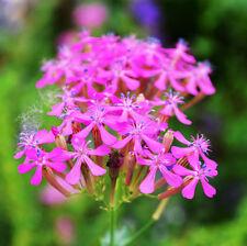 Silene Armeria Seed 50 Seeds Caryophyllaceae Angiospermae Flower Garden Hot A119