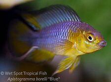 """(1) 1"""" PAIR Apistogramma borelli Blue Dwarf Cichlid TR Live Freshwater Tropical"""