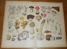 c1885 Antique Botanical  Print of Mushroom Toadstool Fungi Mushrooms