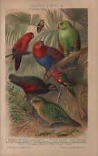 Chromo-Lithografie 1903: PAPAGEIEN I. Kakadu Lori Adler-Edel-Papagei