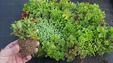 Sedum-Jungpflanzen, Dachstauden für die Dachbegrünung 100 Stück