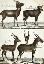 Faune Afrique Antilopes Goîtreux Pieds blanc Saïga  - Gravure originale 18e