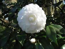 Camellia Alba Plena Luxurious Evergreen Shrub Plants