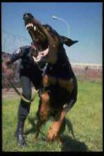 771093 Attacking Doberman Guard Dog South Africa A4 Photo Print