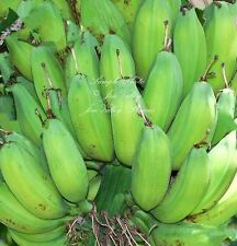 Musa paradisiaca 10 Banana Tree Seeds Plantain Tropical Container, Standard