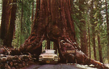 redwood, GIANT SEQUOIA TREE RED WOOD, 10 SEEDS! GroCo*