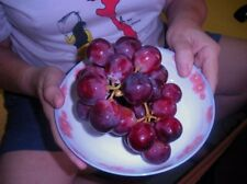 GRAPE SEEDS - RED TAME GIANT MUSCADINE GRAPE - Super Sweet Fruit - 15 Seeds