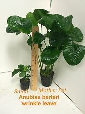 Exotic Live Aquatic Plant Anubias barteri 'wrinkle leave' Mother Pot M036