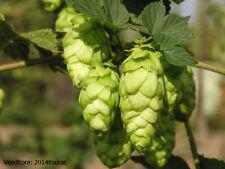 30 semi HUMULUS LUPULUS - Luppolo pianta della birra + OMAGGIO