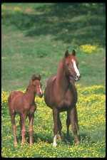 113082 Arabian Horses Mare With Foal In Field Of Yellow Flowers A4 Photo Print