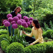 10Pcs New Cute Purple Allium giganteum Seeds Giant Flower Garden Plant Seeds Hot