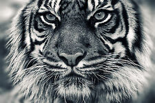 Ferocious Tiger Animal Poster Fabric Silk 60x90 cm Print Art Wall Decor 20