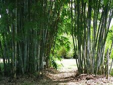 100+ fresh Blue Timber Bamboo Seeds  - Bambusa Chungii