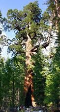 Sequoiadendron giganteum - Riesenmammutbaum - Mammutbaum - Redwood - 50 Samen