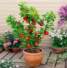 3 fruit TREES;Apple tree,Plum+Cherry tree,ideal for patio fruit **(pot grown)~