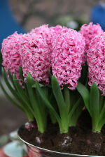 Winter Flower bulb - Hyacinth Flower Bulb Pink colour - 3 bulb