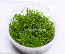 Pogostemon Helferi Downoi Tissue Culture Live Aquarium Freshwater Plants