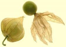 .. Ananaskirsche... wächst rasend schnell ☼ Obst für Haus und Garten ✿ Saatgut ✿
