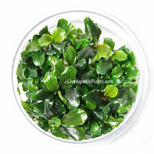 Bucephalandra Green Wavy Leaf in Tissue Culture Live Aquarium Plants Pygmaea