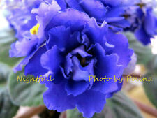 African Violet Nightfall (LLG) plant - rare and hard to find!