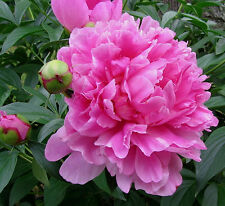 Bulb/Tuber/Root Pink Peony Paeonia Lactiflora Quality Summer Flowering Perennial