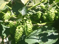 Grow organic NON GMO Humulus Lupulus Hops Vine Seeds Brew Beer Save Special clim