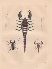 Skorpione Scorpio Heterometrus indus Skorpion LITHOGRAPHIE von 1845