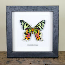 Madagascan Sunset Moth Underside Real Framed Moth