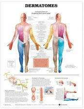 DERMATOMES POSTER (66x51cm) ANATOMICAL CHART NEW EDUCATIONAL
