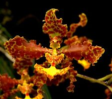 Rare orchid species (seedling) plant - Oncidium stacyi