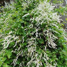 SILVER LACE VINE (Polygonum Aubertii ) 30+EXTRA seeds (#111)