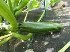 Black Beauty Zucchini Squash Heirloom (Open Pollinated)100 Seeds.Squash Summer !