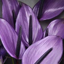 Rare purple Anthurium Seeds Flowers Seeds Anthurium Andraeanum 100 Pcs