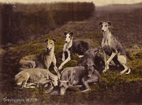 GREYHOUND CHARMING DOG GREETINGS NOTE CARD , GROUP OD DOGS AT REST ON HILLSIDE