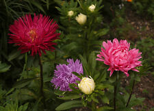 aster, CHINA ASTER, easy to grow cut flower, POWDERPUFF MIX, 200 seeds! groco