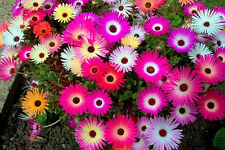 MESEMBRYANTHEMUM / MID DAY FLOWER (FLOWER SEEDS)