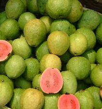 5 Pineapple Guava Seeds Tasty Sweet Tropical Fruit