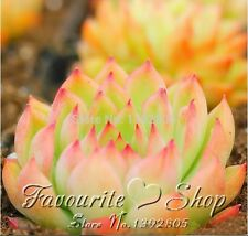 Fleshier plant 100 seeds chigoes echeveria chihuahuaensis,planting succulent