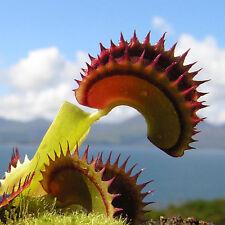 SEMI DI RARA PIANTA  CARNIVORA  GIGANTE  Dionaea Muscipula 10 SEMI