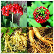 50Pcs Chinese Panax Ginseng Seeds Asian Fresh For Planting Nutrition