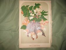 ANTIQUE 1879 FLOWERING SCARLET BEGONIA FLOWER CHROMOLITHOGRAPH BOTANICAL PRINT N