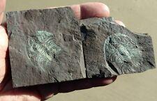 Beautiful Eccaparadoxides pradoanus Trilobite, Middle Cambrian Murero Fm , Spain