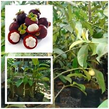 100cm. Mangosteen Tree Grafted plant Queen of Fruit Free for Phytosanitary cert.
