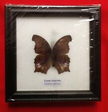 REAL GREAT ASSYRIAN PURPLE BUTTERFLY TAXIDERMY INSECT PICTURE ENTOMOLOGY