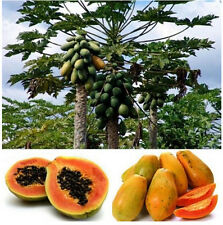 FD944 Sweet Papaya Seed Kakdam Tropical Subtropical Subarctic Fruit Plant 10PC:)