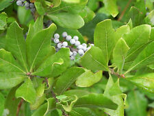 NORTHERN BAYBERRY * Myrica pensylvanica * FRAGRANT FOLIAGE * FALL COLOR * SEEDS