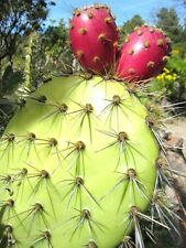 Opuntia Oricola, rare chaparral pricklypear cactus exotic nopal seed  20 SEEDS